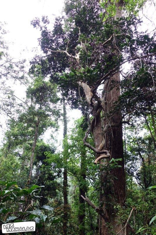 lesmanalas_kao_yai_arbres