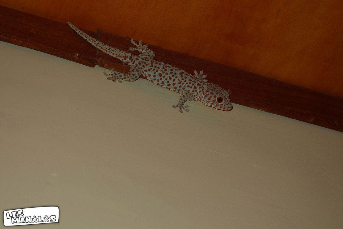lesmanalas_geckos