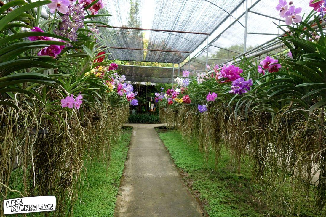 lesmanalas_orchidees