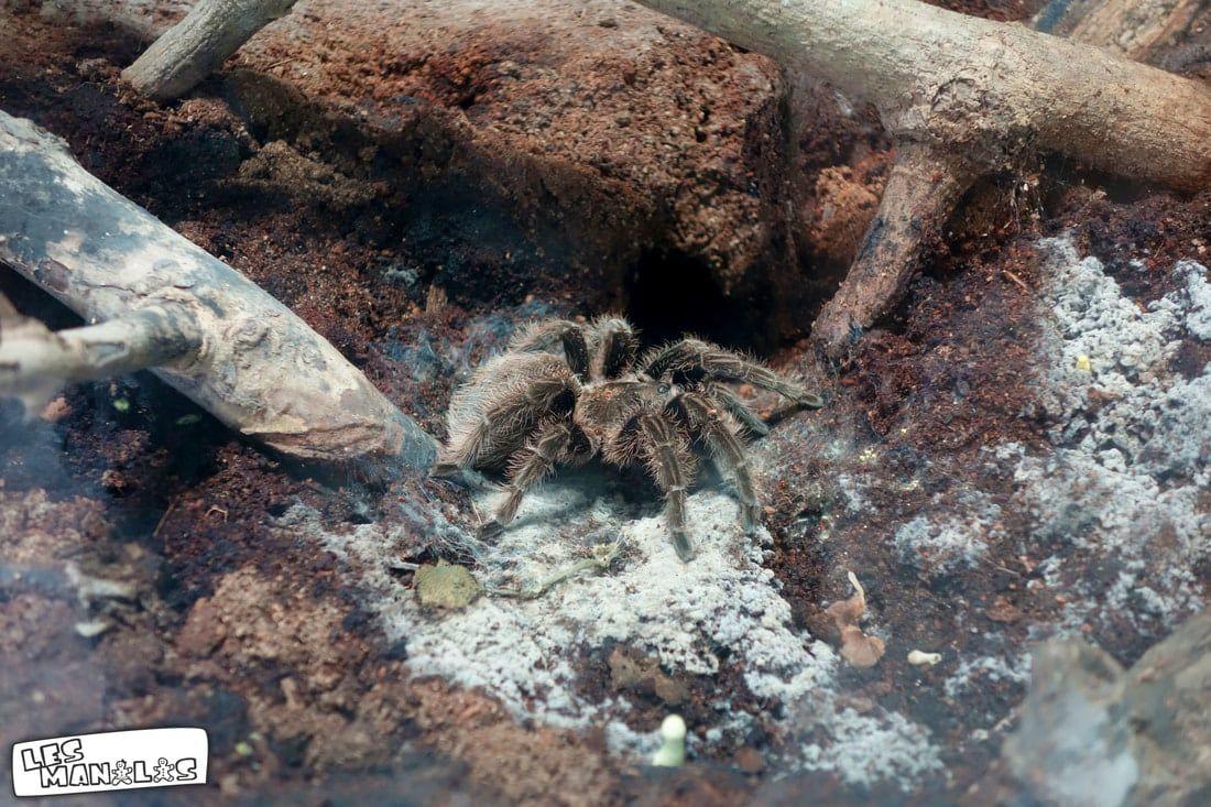 lesmanalas_spider