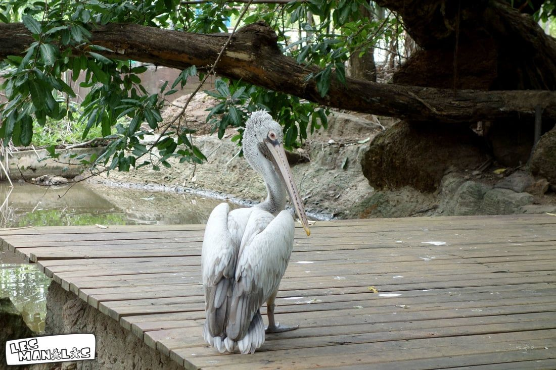 lesmanalas_pelican_zoo