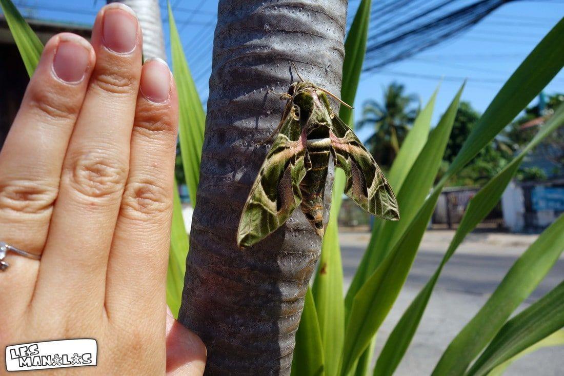 lesmanalas_papillons_thai