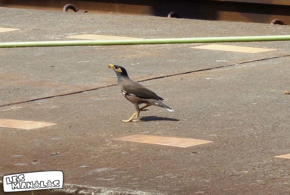 lesmanalas_pigeon_thai